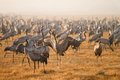 Common Cranes Royalty Free Stock Photo - 23596265