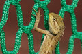 Lizard And Net Stock Photography - 2367152