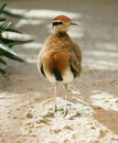 Temminck`s Courser 1 Royalty Free Stock Photos - 2368198