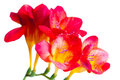 Red And Yellow Flowers Of Freesia Royalty Free Stock Photos - 23600688