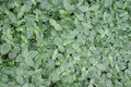Variegated Ground Cover Stock Photos - 23602013