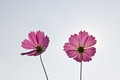 Pink Cosmos Flowers Royalty Free Stock Photos - 23609448