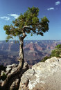 Pine Tree In Grand Canyon Royalty Free Stock Photos - 23639738
