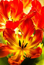 Parrot Tulips With Backlight Royalty Free Stock Image - 23646576