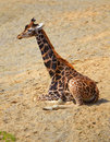 Giraffe Royalty Free Stock Images - 23660729
