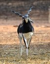 Indian Black Buck Antelope Stock Photography - 23663432