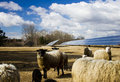 Solar Panel And Sheep Stock Images - 23676224