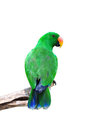 Male Eclectus Parrot Royalty Free Stock Images - 23698589