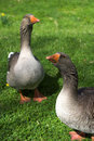 Two Geese Stock Image - 2372851