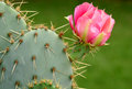 Cactus Flower Royalty Free Stock Photo - 2374895