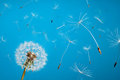 Dandelion Royalty Free Stock Images - 23727379