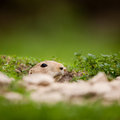 Very Cute Black Tailed Prairie Dog Royalty Free Stock Photography - 23729597
