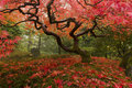 Japanese Maple Stock Images - 23730624