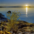 Blossoming Plant At Sunset On Ladoga Lake Stock Photography - 23735342