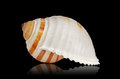 Seashell Royalty Free Stock Photo - 23743025