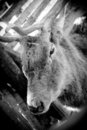Old Deer Royalty Free Stock Photography - 23744117