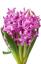 Pink Hyacinth Stock Images - 23745414