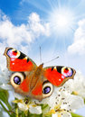 Spring Blossom And A Butterfly. Royalty Free Stock Images - 23752949