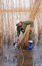 Reed Cutting In The Netherlands Stock Photography - 23757612