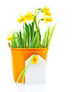 Pot Of Narcissus Flower Stock Image - 23760061