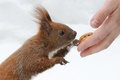 The Squirrel Eats Nuts Stock Photo - 23761270