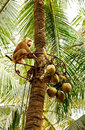 The Monkey For The Harvest Of Coconuts Royalty Free Stock Photography - 23762857