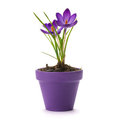Crocus Royalty Free Stock Photography - 23772837