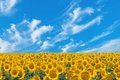 Field Sunflowers Stock Images - 23783344