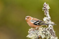 Chaffinch Royalty Free Stock Photo - 23788965