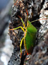 Green Shield Bug Royalty Free Stock Images - 2380509