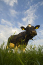 Dutch Cattle Royalty Free Stock Images - 2383209