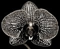 Black And White Phalaenopsis Orchid Stock Photos - 23807733