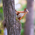 Curious Squirrel Royalty Free Stock Photo - 23824595