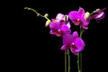 Violet Orchid Stock Photo - 23829350