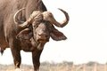 African Buffalo Royalty Free Stock Photo - 23834415
