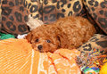 Poodle Puppy Royalty Free Stock Photography - 23852597