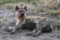 Spotted Hyena Stock Photo - 23857610