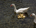 Goslings Royalty Free Stock Photography - 2398007