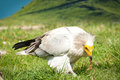 Egyptian Vulture Royalty Free Stock Photography - 23901977