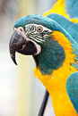 Blue And Yellow Macaw Royalty Free Stock Photography - 23907877