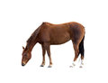 Single Brown Horse Grazing Isolated Clipping Path Royalty Free Stock Images - 23939269