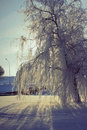 Frozen Weeping Willow Stock Photo - 23955180