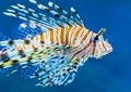 Lionfish In Blue Water Royalty Free Stock Photography - 23956437