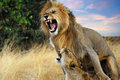 Mating Lions Royalty Free Stock Photos - 23966868
