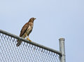 Hawk On The Fence Royalty Free Stock Photo - 23969295