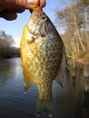 Bluegill Catch In March Royalty Free Stock Image - 23973776