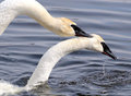 The Mating Ritual Of Two Trumpeter Swans Royalty Free Stock Images - 23979809