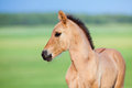 Foal In Field Royalty Free Stock Images - 23981809