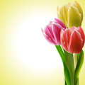 Tulips On A Yellow Background Stock Photography - 23992222