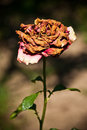 Wilted Rose Stock Photos - 24004523